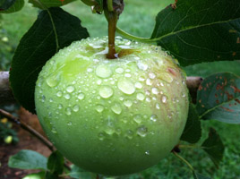 A Yellow Transparent apple with dew.